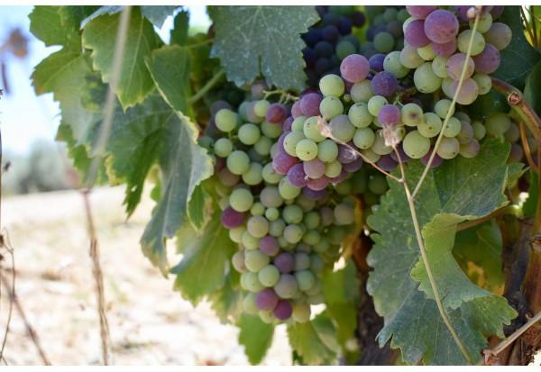酒莊的葡萄開始變色,就快到新的採摘季節了!