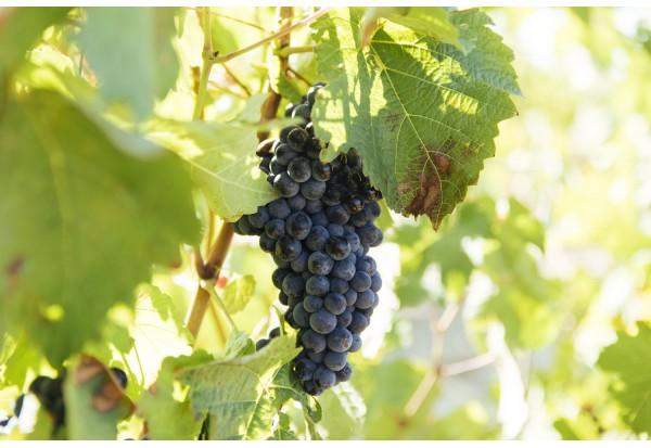 里奧哈Rioja特有葡萄品種「馬圖拉納」Maturana