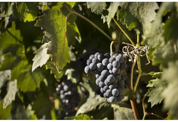 西班牙國寶級的紅葡萄品種「Tempranillo」